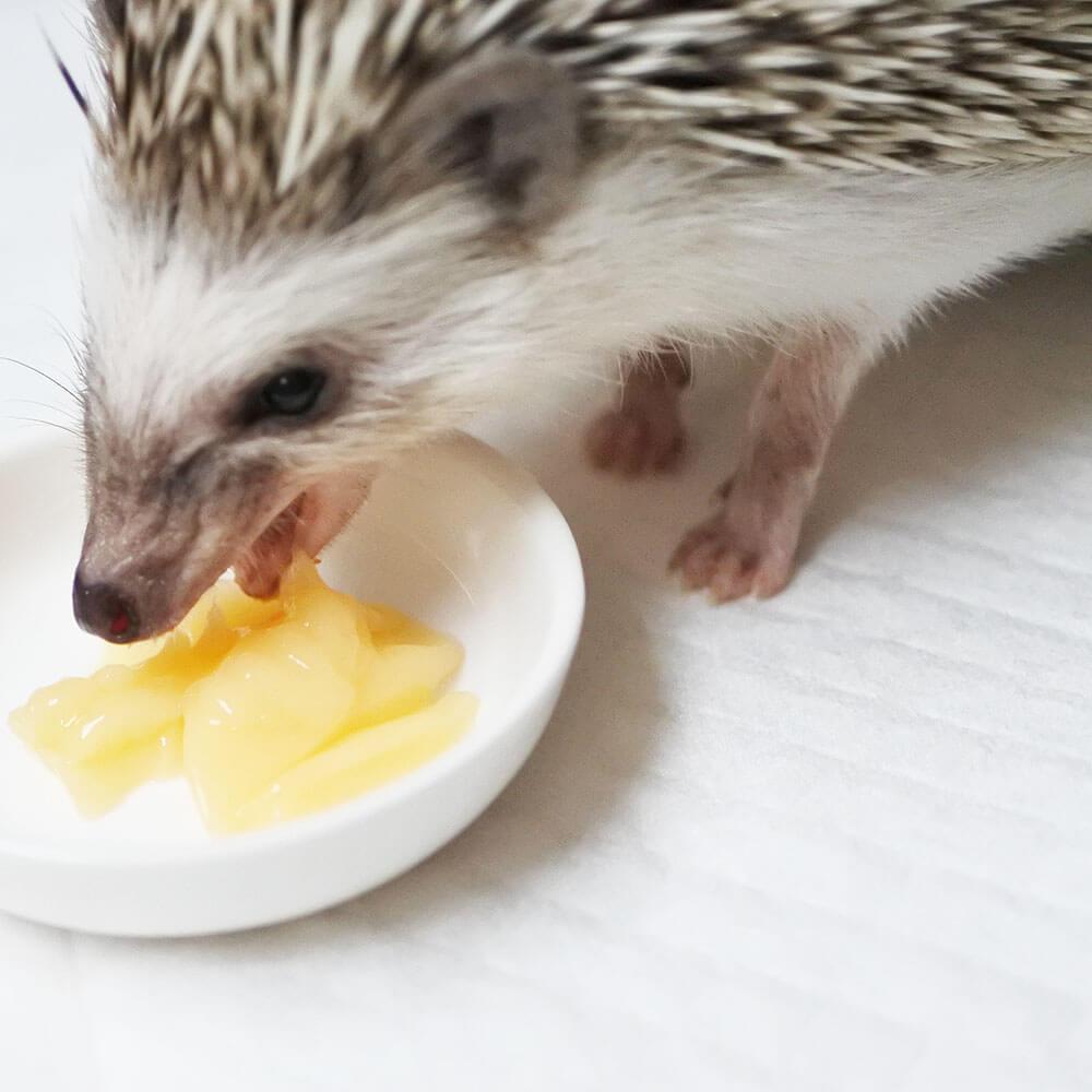小動物万能ゼリーを食べるハリネズミ