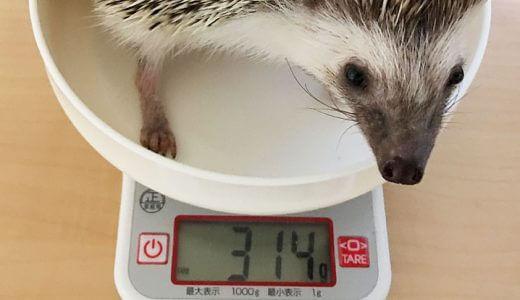 ハリネズミのベスト体重は何グラム?体重の管理方法
