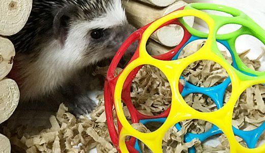 ハリネズミが夢中になる! おもちゃ選びのコツ