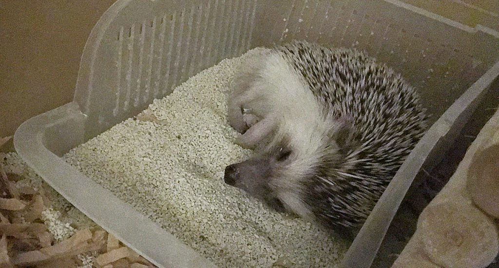 砂場で気持ちよさそうに眠るハリネズミ