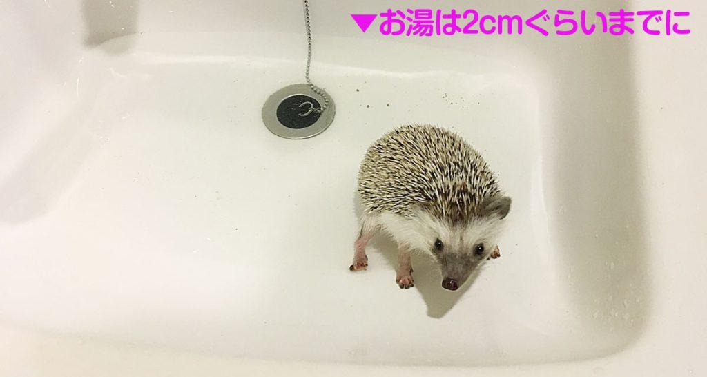 洗面台で足湯するハリネズミ(お湯は2cmぐらいまで)