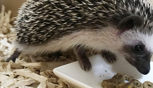 生後47日目、子ハリいきなりフード食べる―ハリネズミの子育て&成長日記13