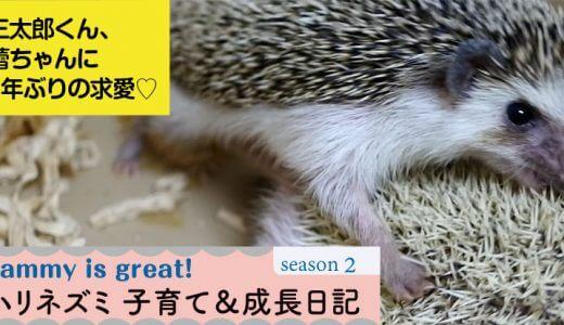 三太郎くん、蕾ちゃんに1年ぶりの求愛♡ーハリネズミの子育て&成長日記20(シーズン2)