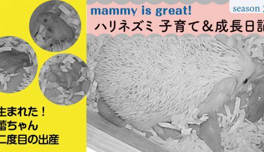 生まれた!蕾ちゃん、二度目の出産―ハリネズミの子育て&成長日記21(シーズン2)