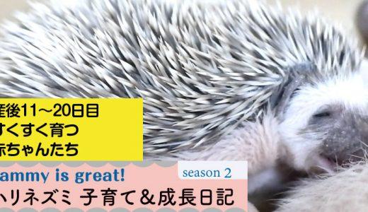 姫ちゃんと赤ちゃんの産後11~20日目まで―ハリネズミの子育て&成長日記27(シーズン2)―