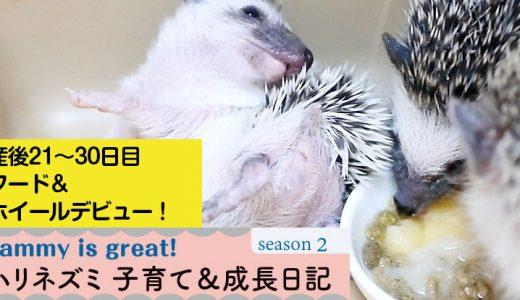 姫ちゃんと赤ちゃんの産後21~30日目まで―ハリネズミの子育て&成長日記29(シーズン2)―