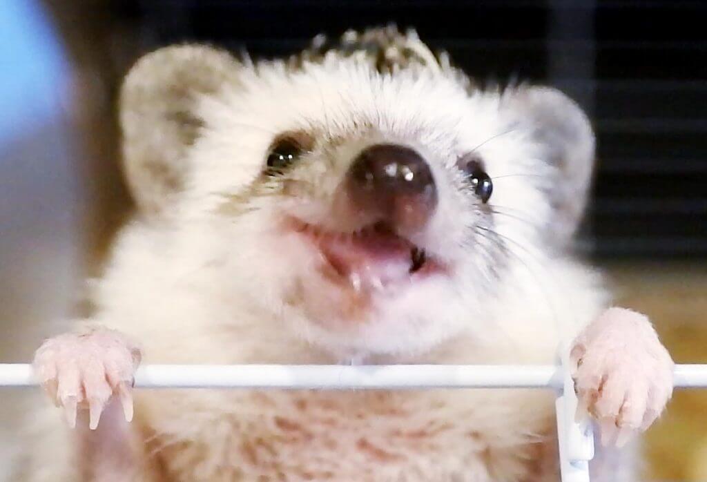 食事中に笑顔のような表情を見せるハリネズミ