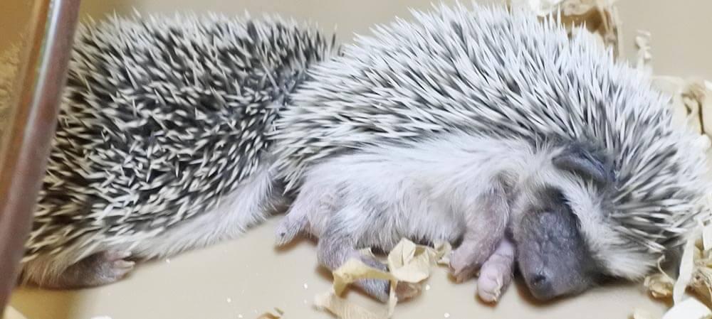 生後24日目のハリネズミ、ごましおくんといちごちゃん(夏ちゃんの子、2020年2月撮影)