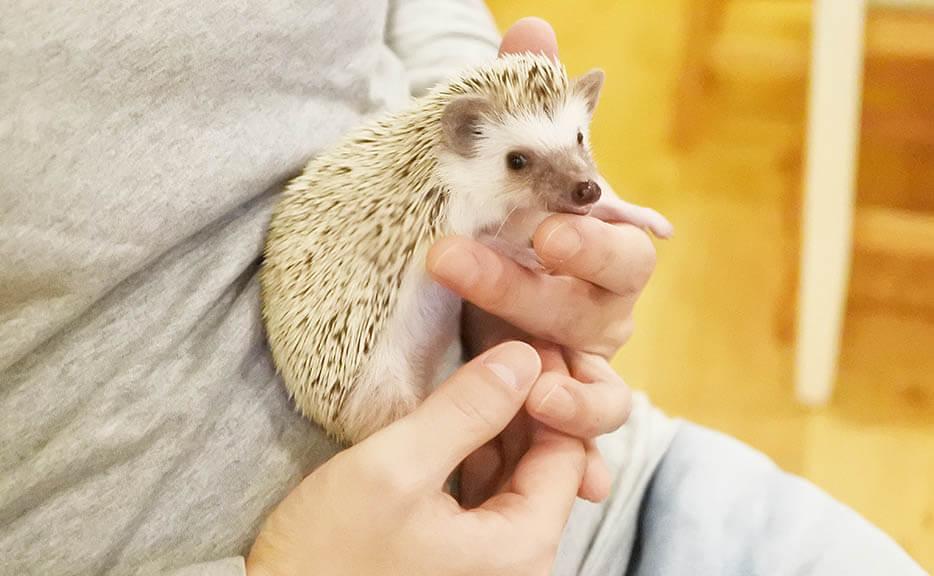 抱っこさせてくれたハリネズミのコロちゃん