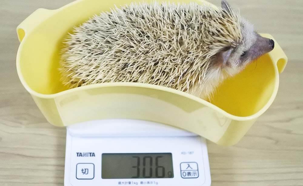 ハリネズミの体重測定。306g