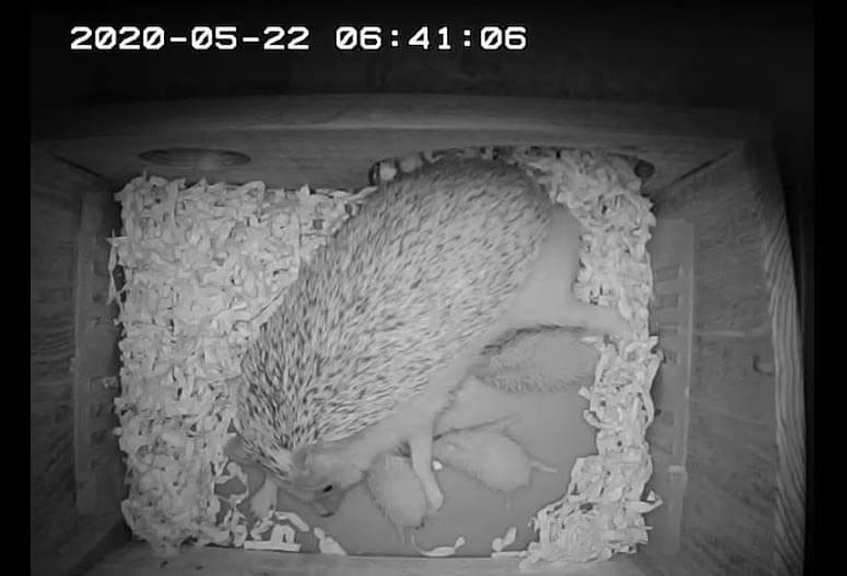 ハリネズミの出産4日目。全員の授乳を確認