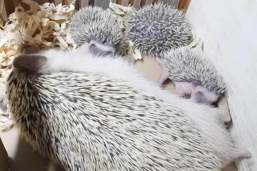 ハリネズミの出産14日目。元気に授乳している様子