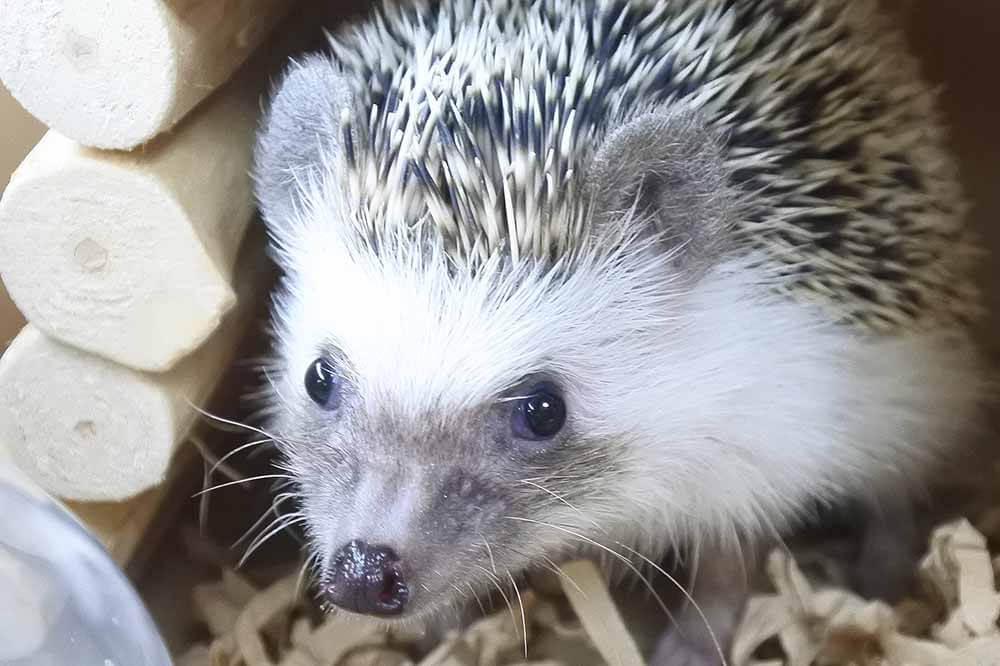 ハリネズミのさくらちゃん(1歳2カ月)