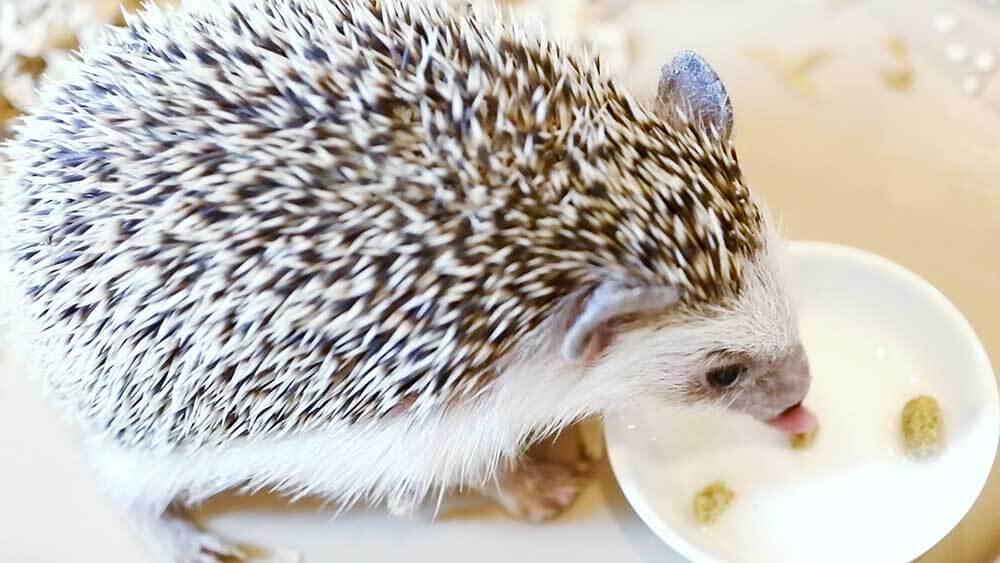 Animal Premium Pack ハリネズミを食べる三太郎くん