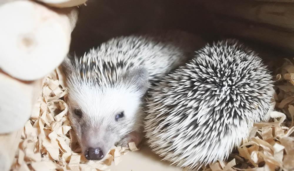 秋口、ハウスの中で眠るハリネズミのカルビちゃんと赤ちゃん