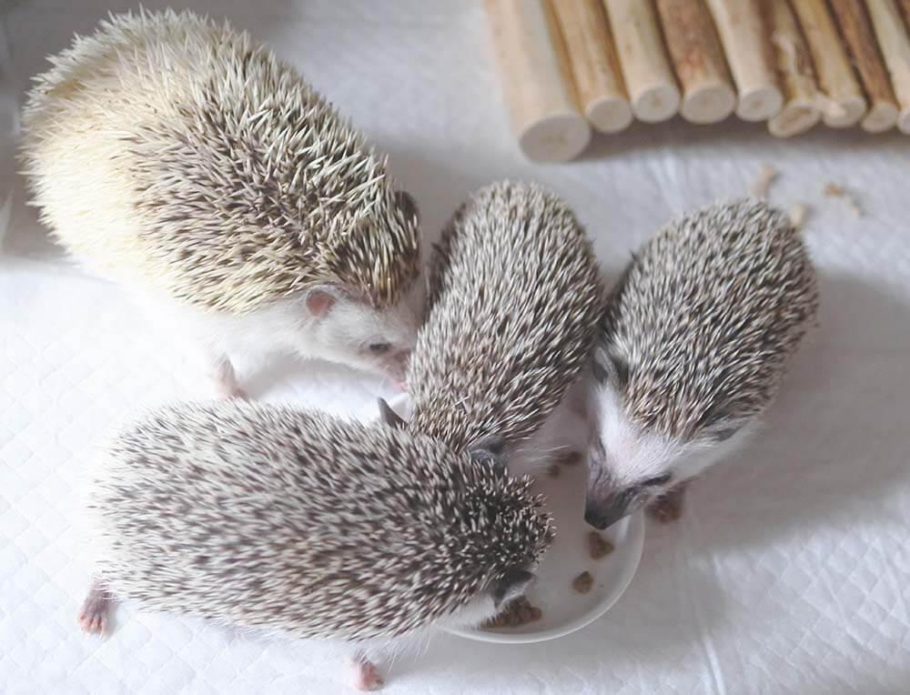 ハリネズミのチクリンちゃん2カ月頃(体重150g程度、写真真ん中の小さい子)