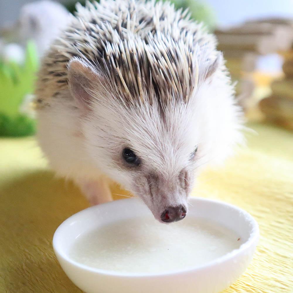 ハーリーのミルクを飲むハリネズミ