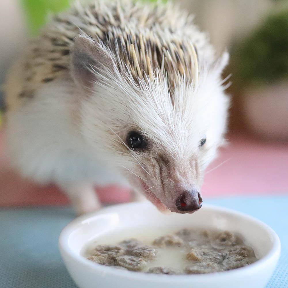 ハーリーの主食を食べるハリネズミ