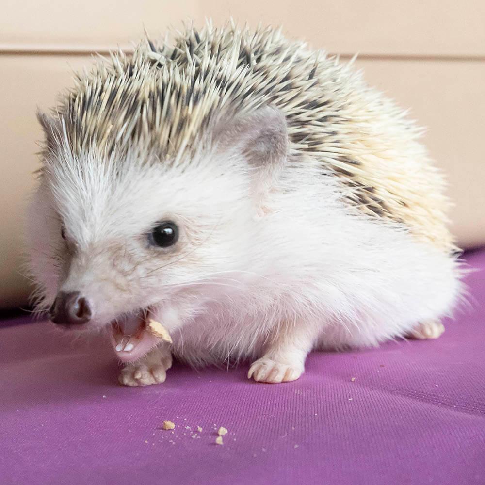 「ハリネズミのおやつ クッキータイム ミルワーム入り」に食いつくハリネズミ